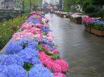長崎紫陽花まつり祭り2018の見頃はいつ?混雑状況に駐車場も!