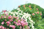花フェスタ記念公園バラ祭り2018!開花情報に混雑や駐車場は?