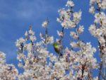 ウグイスとメジロの違いは?鳴き声や写真で比較!桜の蜜をすう鳥は?