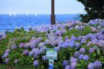 八景島あじさい祭り2018の開花状況は?混雑情報に駐車場も!